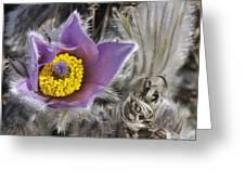 Pasque Flower Pulsatilla Halleri Greeting Card