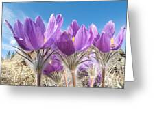 Pasque Flowers Close-up In Natural Environment Greeting Card