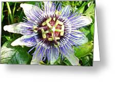 Passiflora Against Green Foliage In A Garden  Greeting Card