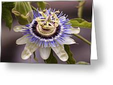 Passiflora Caerulea Greeting Card