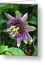 Passion Flower 5 Greeting Card