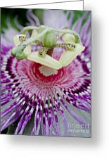 Passion Flower In Bloom Greeting Card