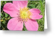 Pasture Rose Rosa Carolina Greeting Card