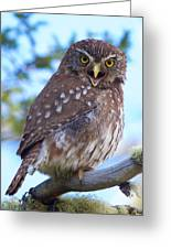 Patagonia Pygmy Owl Greeting Card