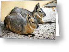 Patagonian Cavies Greeting Card