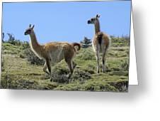 Patagonian Guanacos Greeting Card