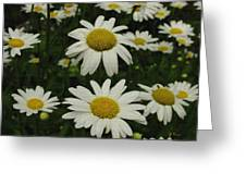 Patch Of Daisies Greeting Card