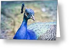 Pavo Cristatus II Indian Blue Peacock Greeting Card