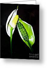 Peace Lilies Greeting Card