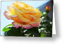 Peace Rose Kissed By The Sun Greeting Card