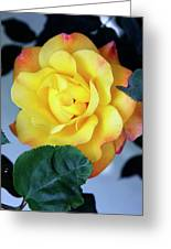 Peace Rose Palm Springs Greeting Card