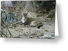 Bobcat Greeting Card by Mae Wertz