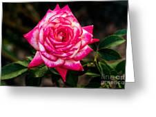 Peaceful Rose Greeting Card