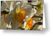 Peach And Cream Daffodil Greeting Card