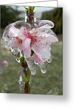 Peach Blossom In Ice Greeting Card