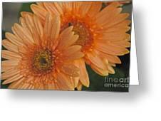 Peach Daisy Greeting Card