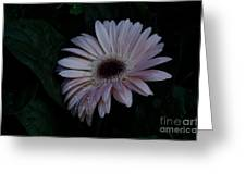 Peach Gerba Daisy  Greeting Card