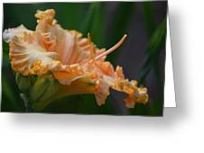 Peach Rufflette - Lily Greeting Card