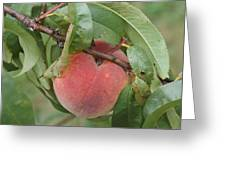Peach For Harvest   # Greeting Card