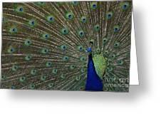 Peacock 17 Greeting Card