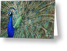 Peacock 21 Greeting Card
