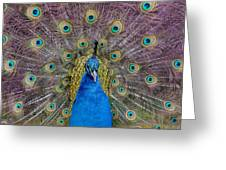Peacock And Proud Plumage Greeting Card