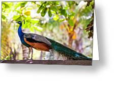 Peacock. Bird Of Paradise Greeting Card
