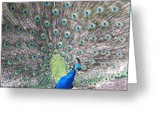 Peacock Bow Greeting Card