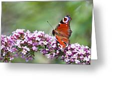 Peacock Butterfly  Inachis Io  On Buddleia Greeting Card