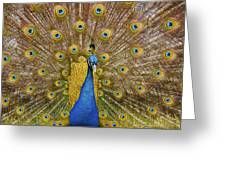 Peacock Courting Greeting Card