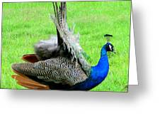 Peacock Courtship Greeting Card
