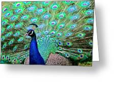Peacock Delight Greeting Card