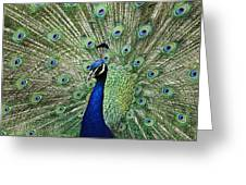 Peacock Display Greeting Card