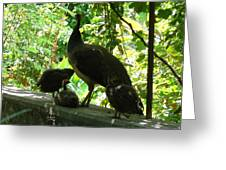Peacock Family At Capernaum Greeting Card