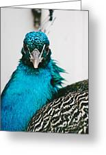Peacock Front View Greeting Card
