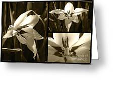 Peacock Gladiolus Triptych Greeting Card