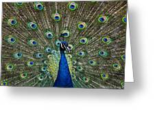 Peacock In Full Pulmage Greeting Card