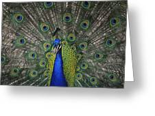 Peacock In Open Feathers, Victoria, Bc Greeting Card