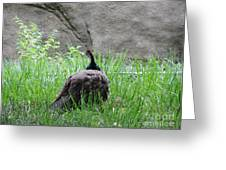 Peacock In The Grass Greeting Card