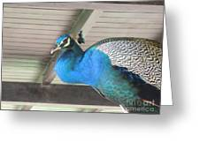 Peacock In The Rafters Greeting Card