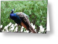 Peacock On A Rock 1 Greeting Card