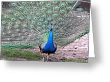 Peacock On Display Greeting Card