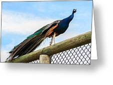 Peacock On Fence 1 Greeting Card