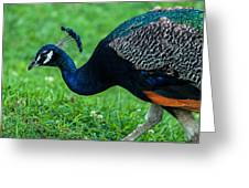 Peacock Portrait 5 Greeting Card