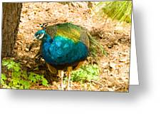 Peacock Pretty Greeting Card