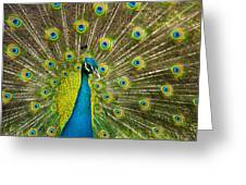 Peacock Pride Greeting Card