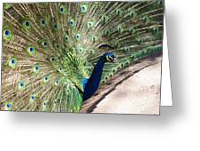 Peacock Show Greeting Card