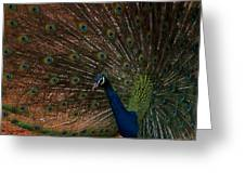 Peacock Show Off Greeting Card