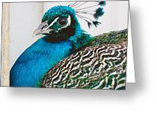 Peacock Square Greeting Card