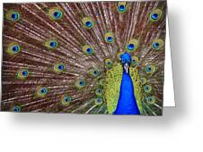Peacock Squared Greeting Card